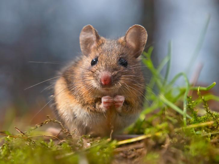 Фото №1 - Влюбленные мыши-самцы поют самкам ультразвуковые серенады