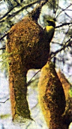 Прибрежные кусты увешаны гнездами ткачиков