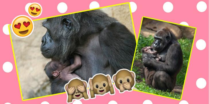 Фото №1 - Милота дня: в зоопарке родился горилленок