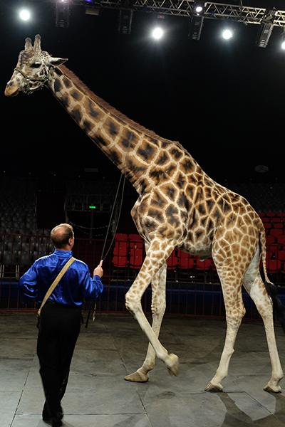 Фото №2 - В московском цирке впервые выступят жираф и козел-канатоходец