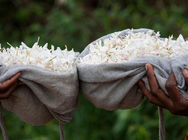 Фото №3 - Как жасмин поможет улучшить экологию, парфюмерию и социальное благополучие?