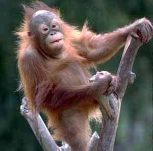 Фото №1 - Треть обезьян на Земле находится под угрозой вымирания