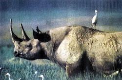 Шкура носорога — и стол и дом для цапель и волоклюев.