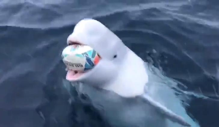 Фото №1 - Белуха играет с мячом для регби (видео)