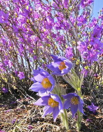 Фото №14 - Загадочные цветы весны: какие эфемероиды искать в парках и лесах Москвы и России
