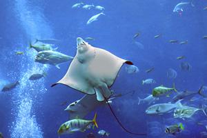 Фото №1 - Как устроены электрические рыбы?