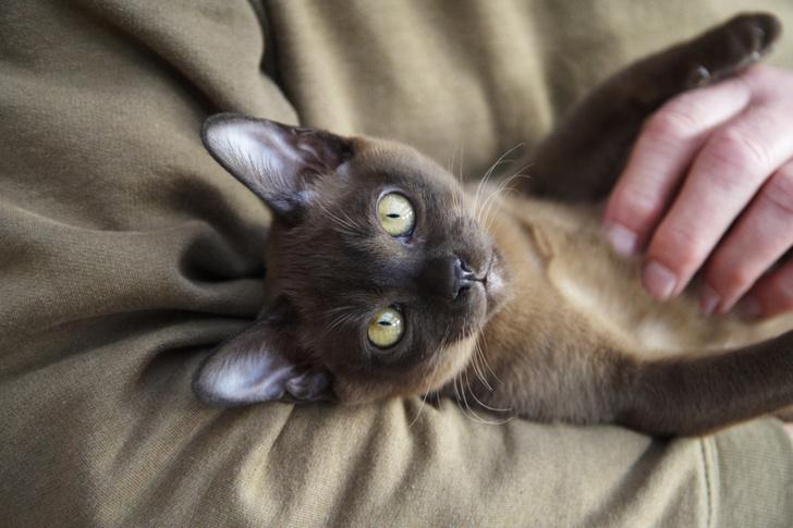 Фото №9 - Овну— мау, Раку— сфинкс: какая кошка подходит вам по знаку зодиака