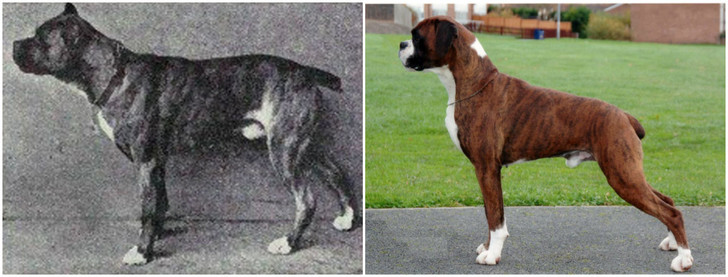 Фото №7 - Как изменились породы собак за 100 лет