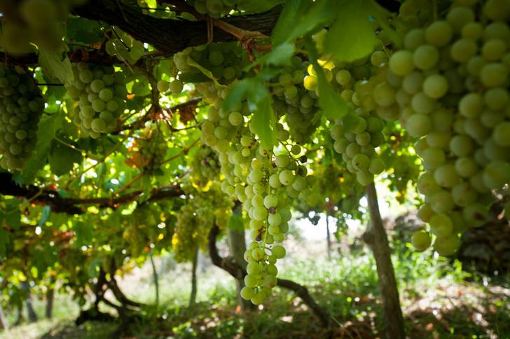 Фото №1 - Ученые оценили риски для винодельческих регионов