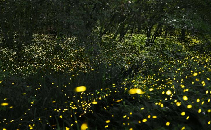 Фото №1 - Зачем светлячкам биолюминесценция