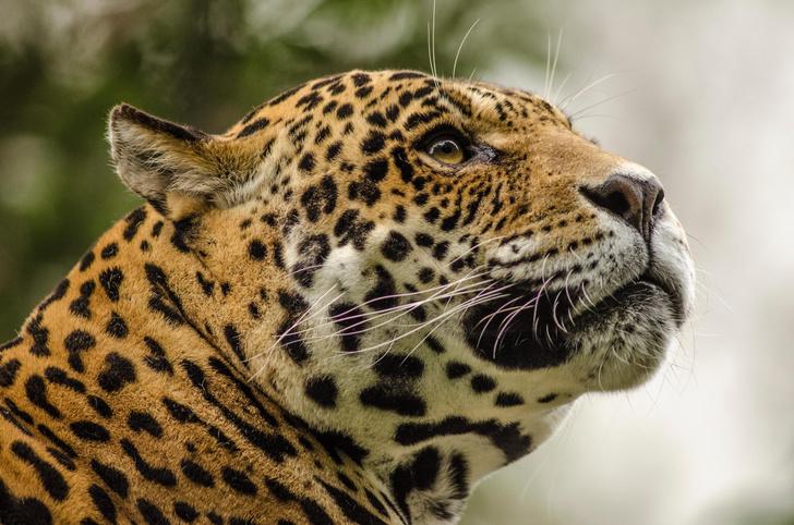 Фото №1 - Ягуары могут вернуться на юго-запад США