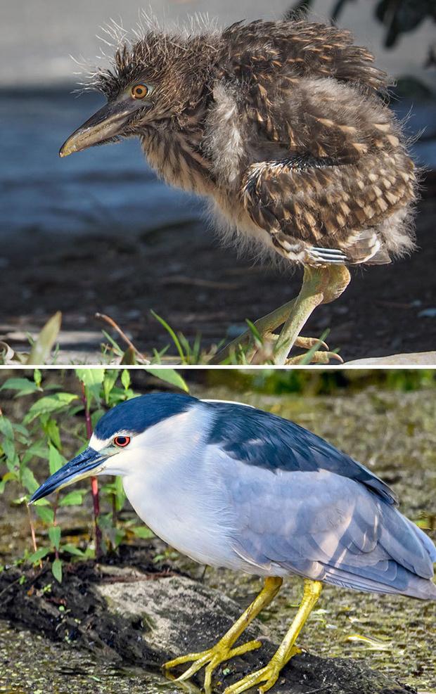 Фото №22 - 30 красивых птиц, которые были уродливыми птенцами (галерея)