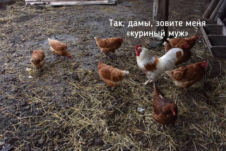 Фото №1 - Лучшие шутки про Рамзана Кадырова, который объявил, что в Чечне нет петухов