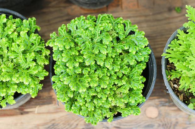 Фото №3 - Самые древние растения планеты