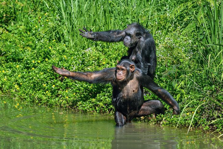 Фото №1 - Путешествия помогли эволюции шимпанзе