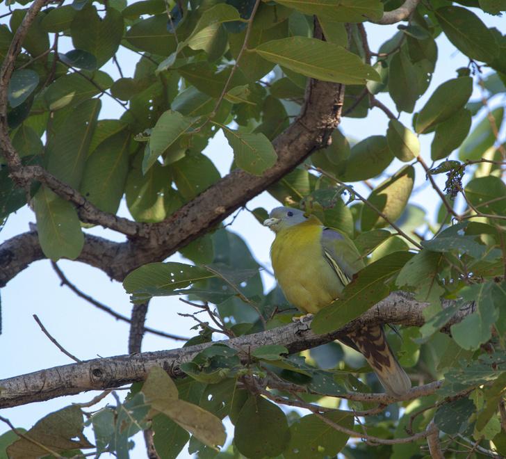 Фото №2 - Редкий, яркий и скрытный: кто такой зеленый голубь