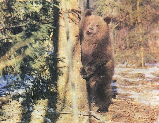 Фото №1 - Дядька тверских медвежат
