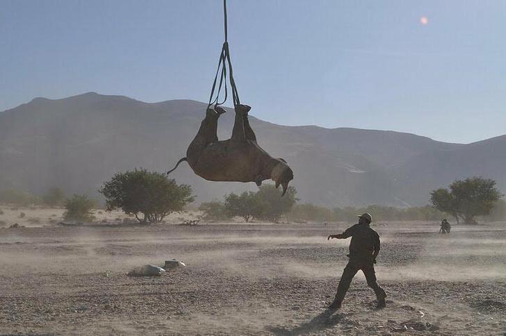 Фото №2 - Ох, нелегкая это работа: зачем и как в Намибии транспортируют носорогов