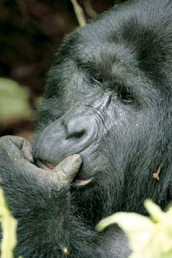 Фото №5 - Кинг Конги из дебрей Уганды