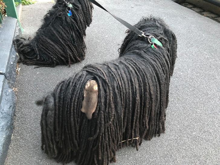 Фото №2 - Хозяйка собак обнаружила у них в шерсти двух малышей опоссумов