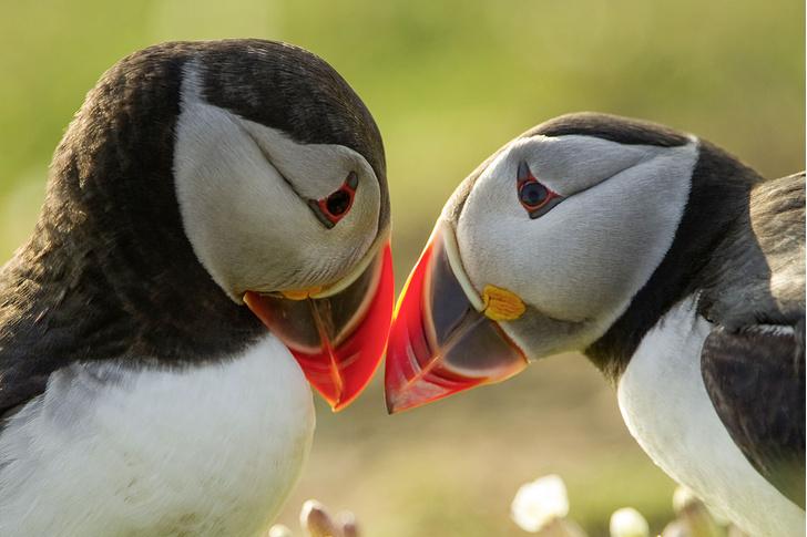 Фото №1 - Животные страсти: превратности любви в животном мире