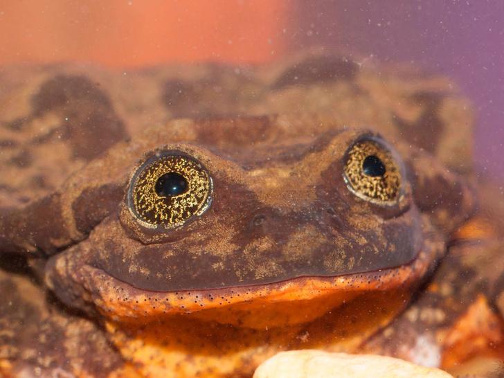 Фото №1 - Для самой одинокой в мире лягушки Ромео нашли Джульетту