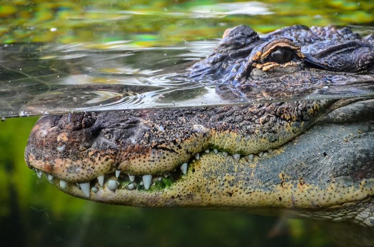 Фото №1 - Как пьют крокодилы?
