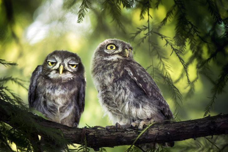 Фото №1 - Братья-совы