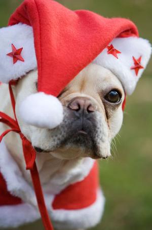 Фото №8 - Вырядился: забавные новогодние наряды домашних питомцев