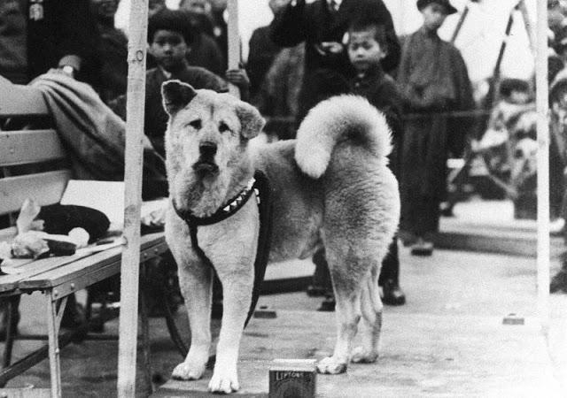 Фото №1 - Как выглядел настоящий Хатико: редкие фотографии