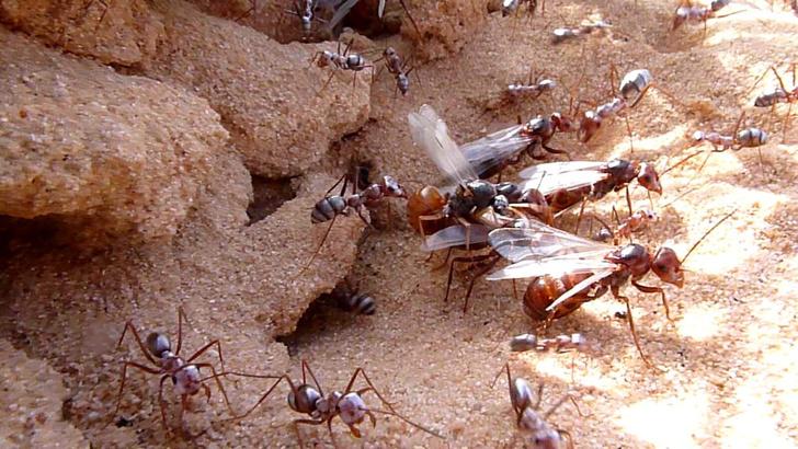 Фото №1 - Ученые нашли объяснение силе муравьев