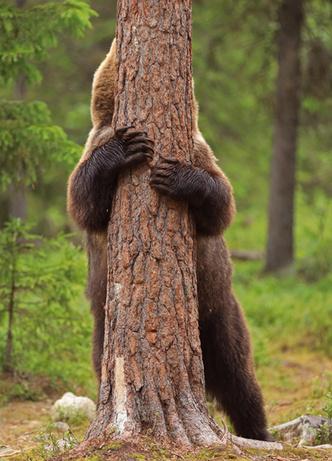 Фото №3 - Милота дня: огромный бурый медведь играет в прятки