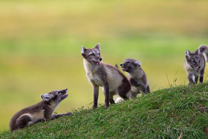 Фото №1 - Генетики нашли ключ к поведению лисиц
