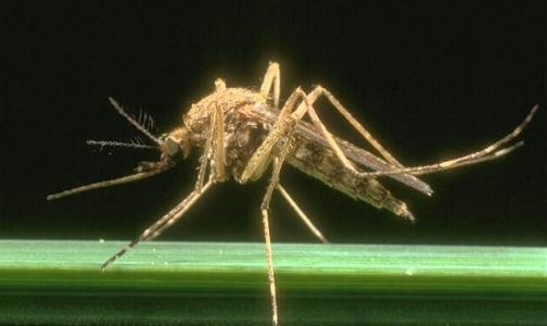 Фото №1 - С малярией будут бороться бесплодные комары