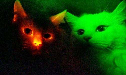Фото №1 - В изучении СПИДа ученым помогут светящиеся коты