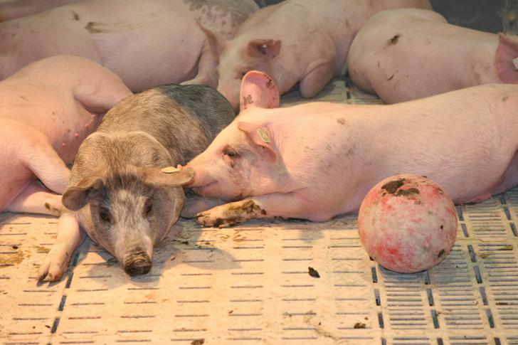 Фото №1 - В США будут выращивать ГМ-свиней