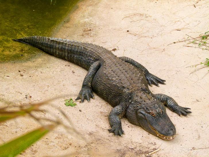 Фото №1 - Миссисипские аллигаторы могут заново отращивать хвост