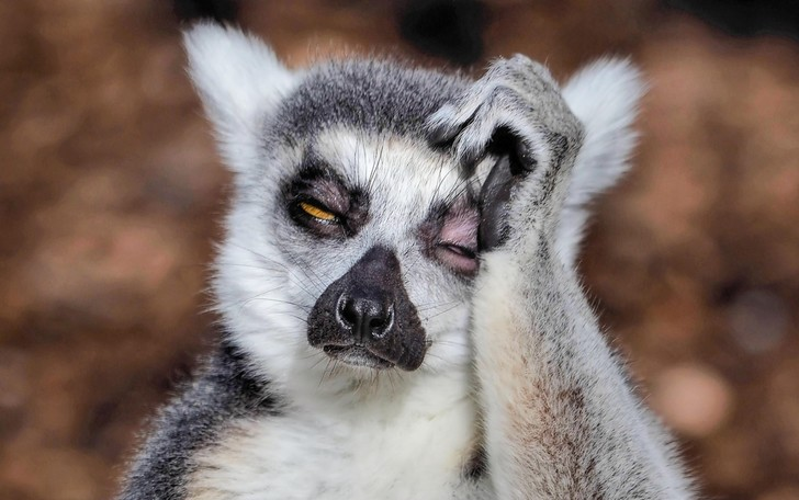 Фото №1 - Невыспавшийся лемур