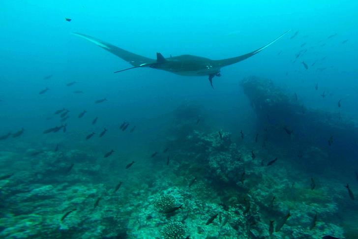 Фото №1 - Ученые обнаружили «детский сад» морских дьяволов