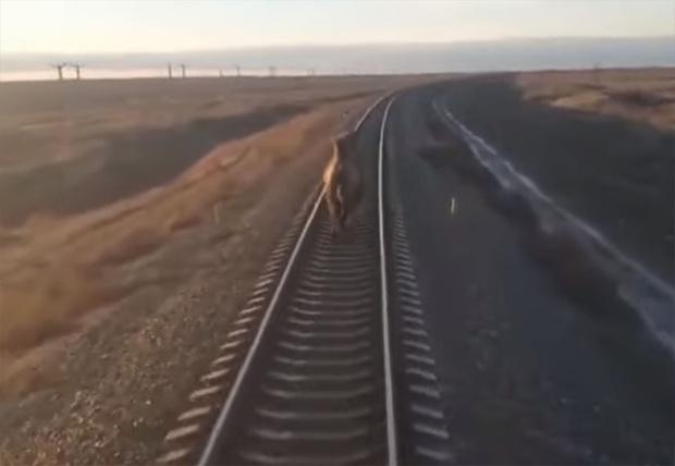 Фото №1 - В Астраханской области поезд опоздал на 44 минуты из-за бежавшего по рельсам верблюда (видео)