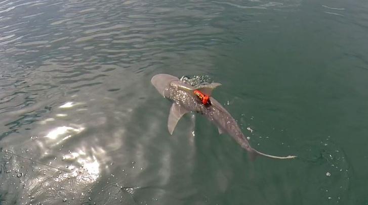 Фото №2 - Акулы разных видов научились охотиться «посменно», чтобы не мешать друг другу