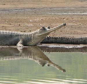 Фото №1 - Грязные реки Индии губят животных