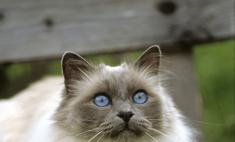 Бирманская кошка: особенности породы и описание характера