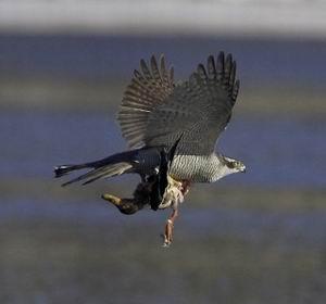 Фото №1 - Ястребы-тетеревятники против московских голубей