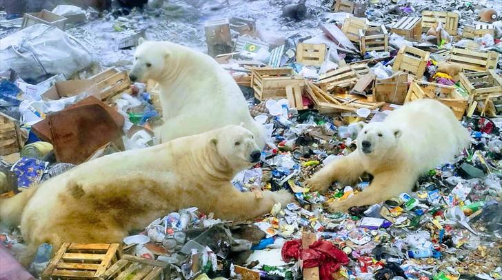 Фото №1 - Массовое нашествие белых медведей на Новой Земле
