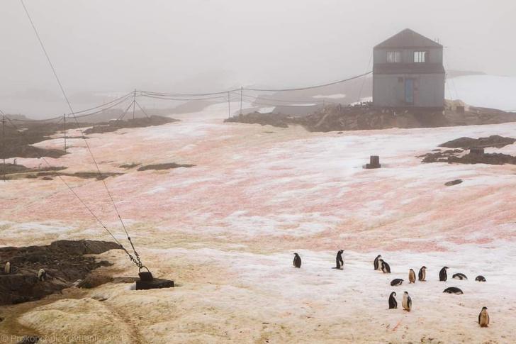Фото №1 - В Антарктиде «зацвел» снег