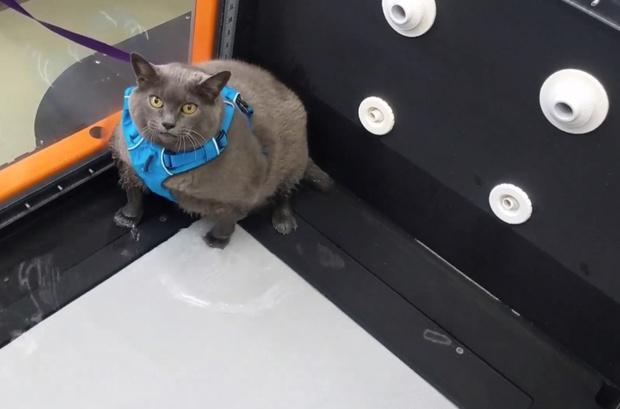 Фото №1 - Видео, в котором очень тучная кошка филонит на беговой дорожке, стало вирусным