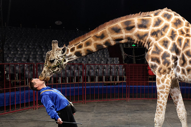 Фото №5 - В московском цирке впервые выступят жираф и козел-канатоходец