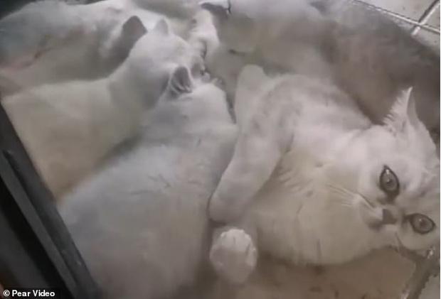 Фото №1 - Уханьская кошка, которую оставили на 40 дней в квартире не только выжила, но ещё и родила
