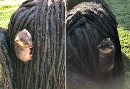 Хозяйка собак обнаружила у них в шерсти двух малышей опоссумов